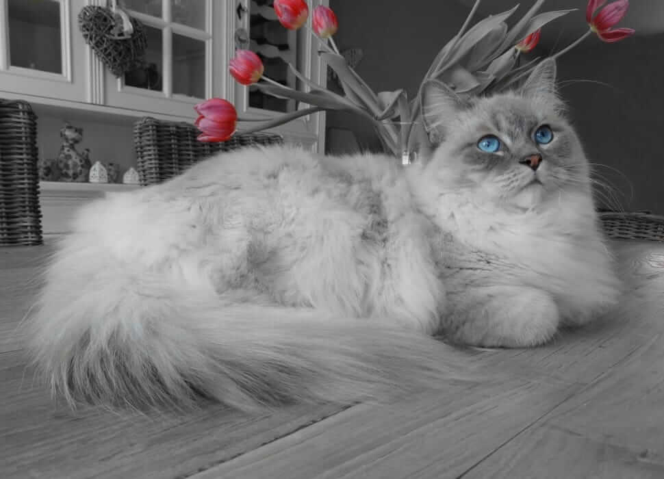 A grey and white Persian cat