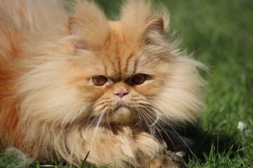 Long hair Persian cat