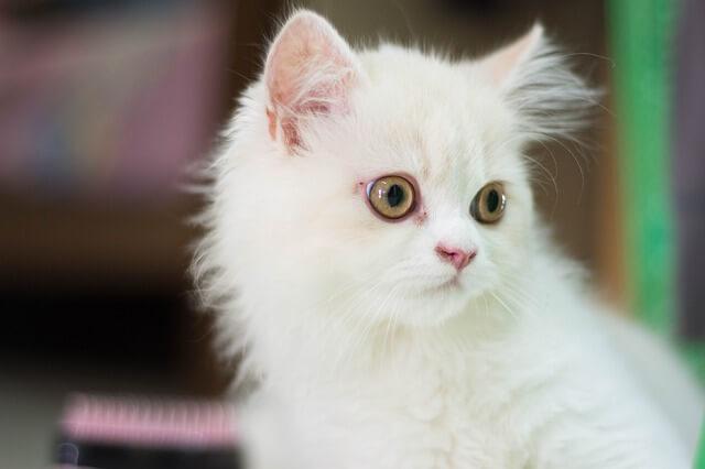 white persian kitty