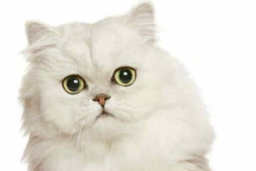 Persian cat in heat