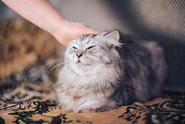 Grooming a Persian cat