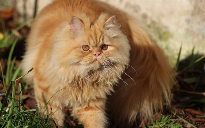 fluffy ginger persian cat