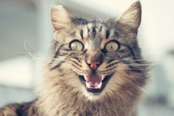 cats meowing