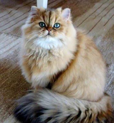 A beautiful golden Persian cat