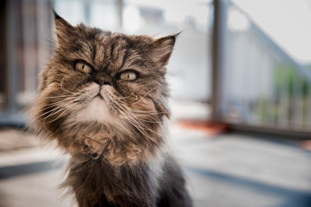 A cute tabby Persian cat