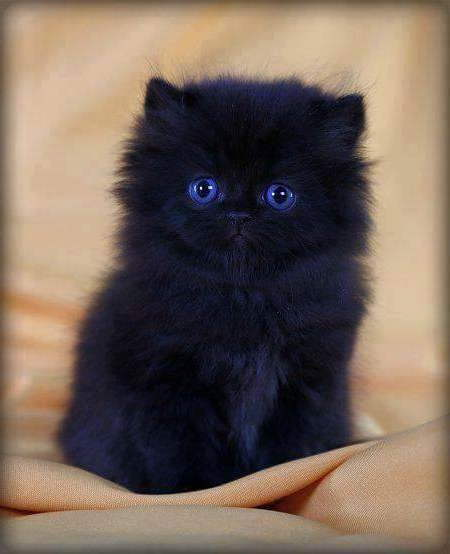 a cute black Persian kitten